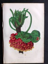 Anderson 1870's Antique Botanical Print. Astrapaea Wallachii